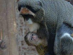 Mládě afrického primáta kočkodana Brazzova se narodilo v ústecké zoo.