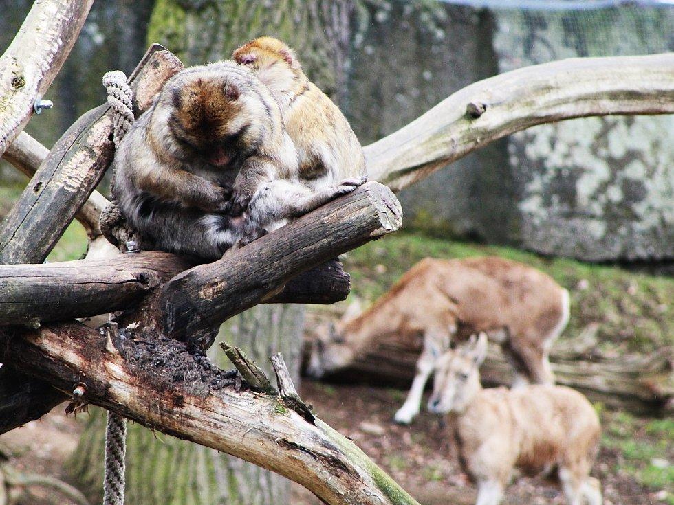 První den po znovuotevření zoologických zahrad nepřálo počasí, přesto si fanoušci do zahrady v Chomutově cestu našli.