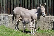 V ústecké zoo přišel na svět hřebeček kriticky ohroženého osla somálského