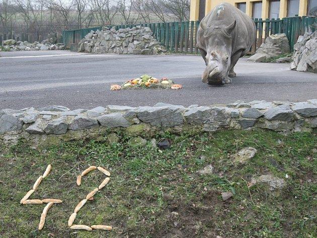 Samice nosorožce tuponosého Zamba slavila v ústecké zoo dvojí narozeniny. Na světě je už 42 let a v Ústí už 32!