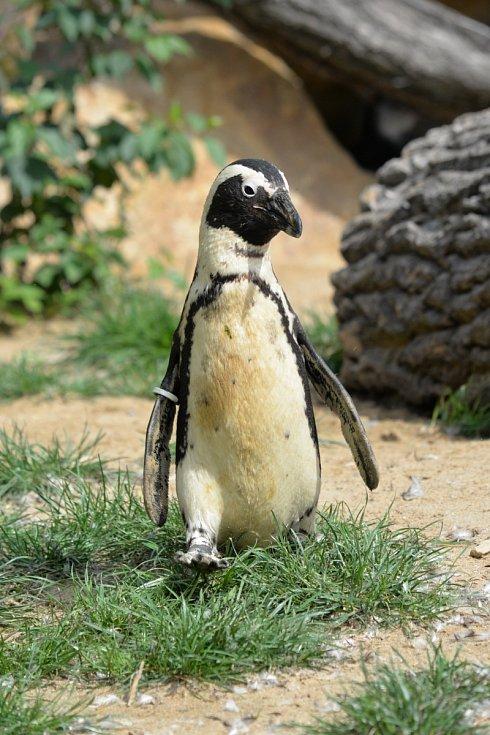 Tučňák brýlový v ústecké zoologické zahradě