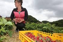 Sklizeň jahod na svádovské plantáži začala v úterý.