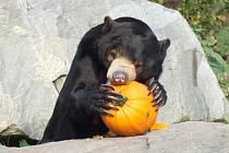 Zoologická zahrada připravila také dýňový enrichment pro zvířata. Na snímku malajský medvěd.