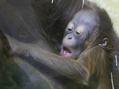 Mládě orangutana bornejského v ústecké zoo.