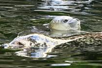 Ústecká zoo má unikát, mládě tuleně.