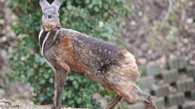 Plachý a vzácný kabar pižmový v ústecké zoo