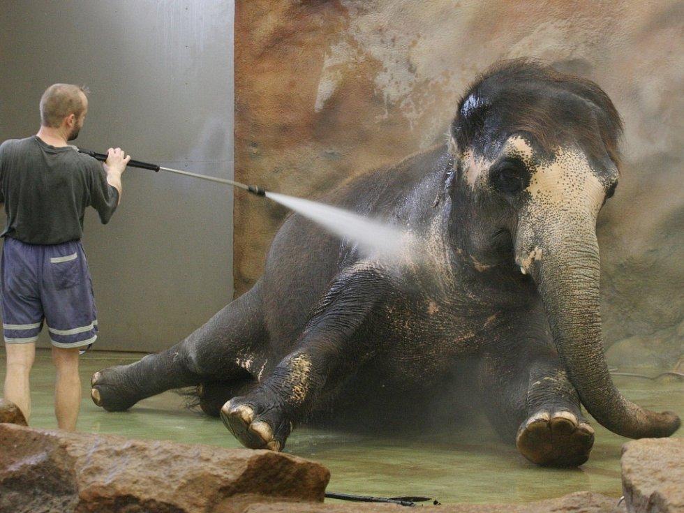 Koupání slonů v ústecké zoo.