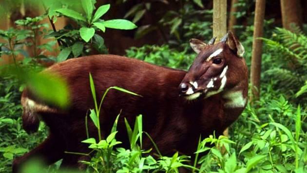 Saola patří ke kriticky ohroženým druhům. Žije v pohoří Annamite ve Vietnamu a Laosu.