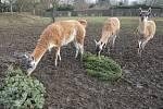 Pracovníci zoologické zahrady v Ústí nad Labem vylepšují jídelníček některým zvířatům vánočními stromky. Na symbolu Vánoc si nejvíce pochutnávají velbloudi, lamy, jelen sika či tapír.