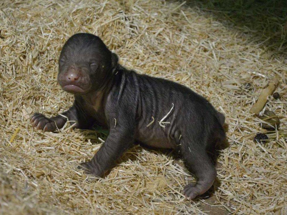 Mládě medvěda malajského se narodilo v ústecké zoo. Takto vypadá po dvou týdnech života.