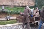 Stěhování aligátorů v ústecké zoo