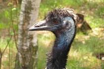 Emu hnědé návštěvníci ústecké zoo v těchto dnech neuvidí.
