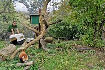 Vítr páchal škody také v ústecké zoo. Pomoci s odchytem pand červených museli přijet se svou výškovou technikou i hasiči.