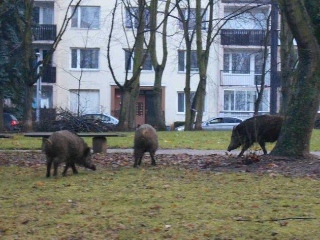 Divoká prasata se potulovala po Centrálním parku na Severní Terase. Dvě znich přivolaný myslivec odstřelil.