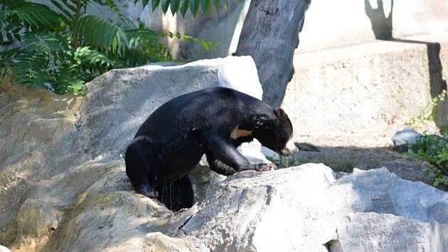 Medvěd malajský se chladí ve vodě.