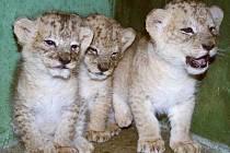 Nově narozená lvíčata v zoologické zahradě