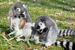 Malí lemuři v ústecké zoo