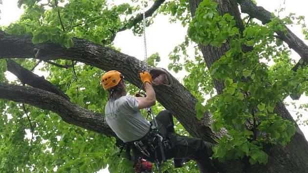Arboristé na semináři v Praze ukáží, jak se ošetřuje vzrostlý strom.