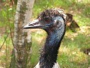 Zoo Ústí nad Labem - ilustrační foto. Emu hnědý