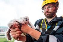 Ornitolog Václav Beran se sokolům na lidských stavbách věnuje osm let.