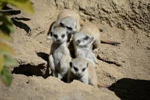 Šestice malých surikat již sebevědomě prozkoumává prostředí v ústecké zoo.