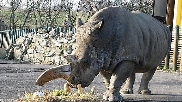 Samice nosorožce tuponosého Zamba oslavila včera třicet let v ústecké zoo a také čtyřicátiny. Dort ze slámy, ovoce a pečiva jí připravila její ošetřovatelka Michaela Králová.