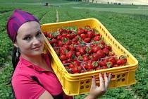 Sběr jahod ve Svádově je v plném proudu. Podle jahodářů je letošní úroda povedená, jahody jsou veliké a šťavnaté. Evě Váňové jich denně projde rukama kolem 500 kilogramů. Většina míří do Ústí a dalších měst v kraji.