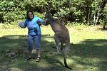 Nebezpečné setkání s klokanem prožila Ilona Vápeníková z Chotiněvsi v Pebbly Bay v Austrálii, 300 kilometrů jižně od Sydney.