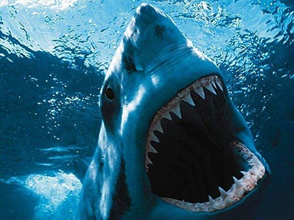 Žralok bílý.