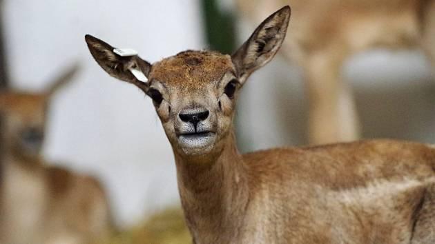 Mláďata antilopy jelení v ústecké zoo