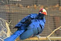 Ústecké zoo se podařili zajímavé ptačí odchovy. Na snímku turako fialový.