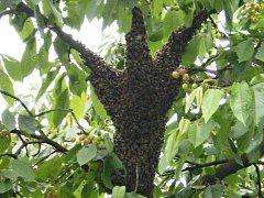 Včelí roj.