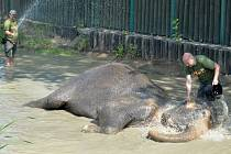 Chlazení slonice Delhi v ústecké zoo