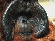 Orangutan Ňuňák.