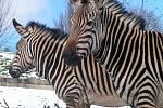 Zebry Hartmannové v ústecké zoo.