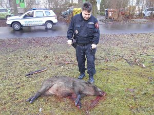 Divoká prasata se potulovala po Centrálním parku na Severní Terase. Dvě z nich přivolaný myslivec odstřelil.