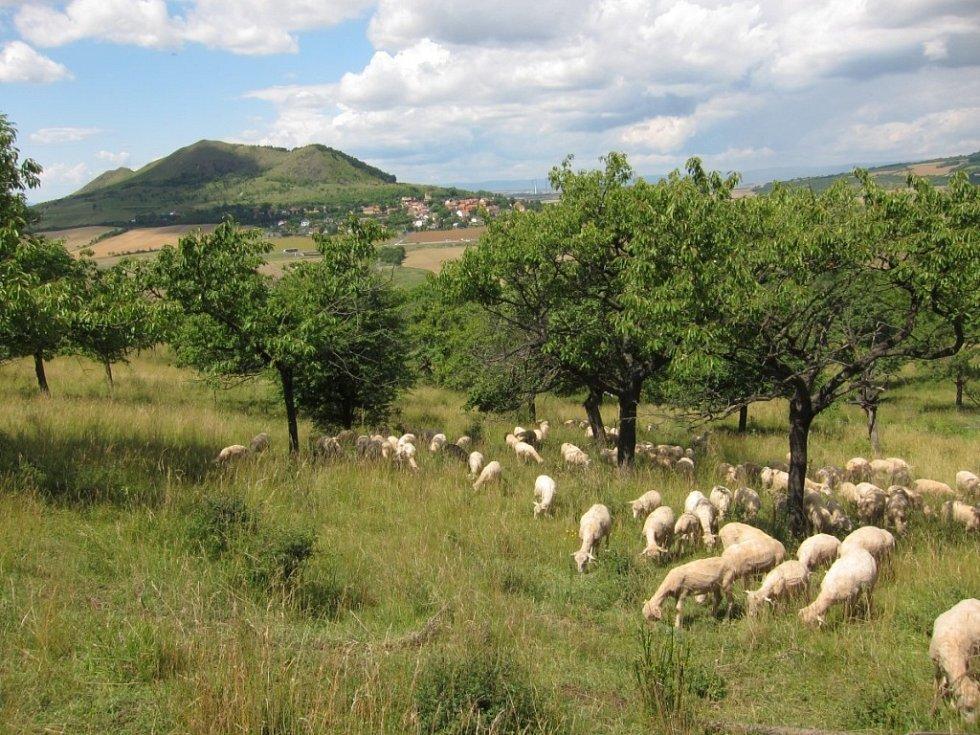 Pastva v sadě pod Oblíkem, kopec Raná.