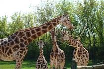 Žirafy v ústecké zoo.