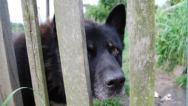 Zanedbaně vypadá černý kříženec neměckého ovčáka na opuštěné střekovské zahradě.