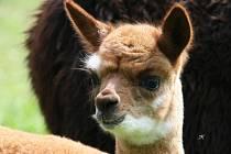 Hned dvěma novými přírůstky se může pochlubit výběh lamy alpaky v ústecké ZOO.
