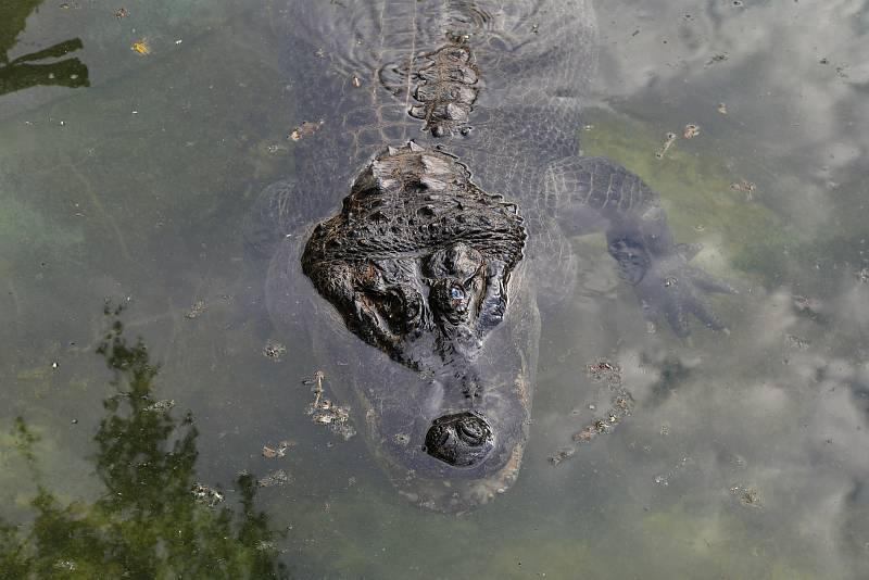 Stěhování aligátorů v ústecké zoo.