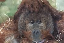 Orangutan Ferda z Ústí vydělává pro Z00. Za každé triko se svou fotkou dostane stovku.