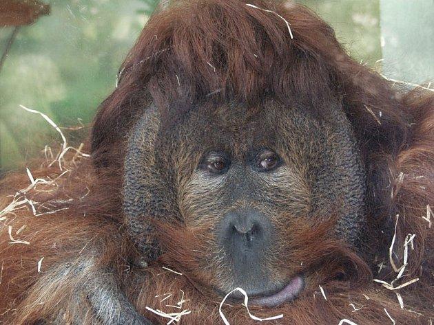 Orangutan Ferda zÚstí vydělává pro Z00. Za každé triko se svou fotkou dostane stovku.