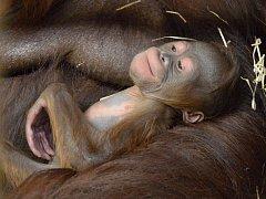 Mládě orangutana bornejského se narodilo v ústecké zoo.