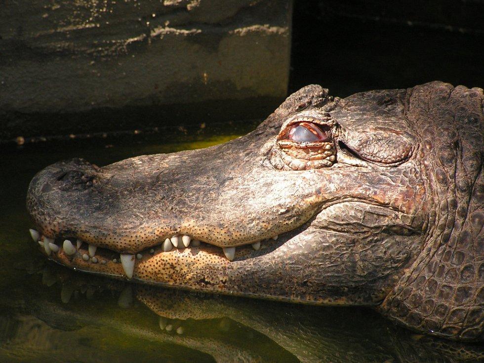 Zoo Ústí nad Labem - ilustrační foto. Aligátor severoamerický