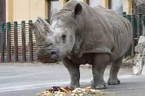 Nosorožčí samice Zamba. Snímek z listopadu 2018.
