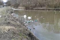 V Klíšském potoce, kam přilétly hnízdit, musí labutě proplouvat mezi hromadou plastových lahví.