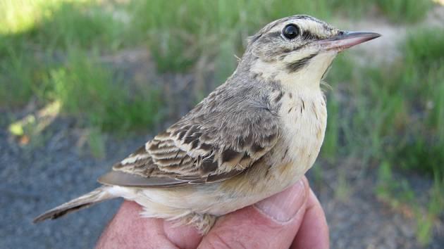 Výsypky povrchových dolů představují ideální biotop pro některé ptačí druhy. Jedním z nejhojnějších je slavík modráček středoevropský. Mezi intenzivně zkoumané druhy patří i strnad zahradní.
