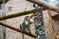 Ošetřovatelé zvířatům v zoo zkracují čekání na jaro enrichmentem. Makakům a mandrilům ošetřovatelé schovali ovoce do bužírek od požárních hadic.
