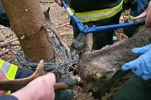 Hasiči z Velkého Března a Malečova zbavují jelena částí drátěného plotu